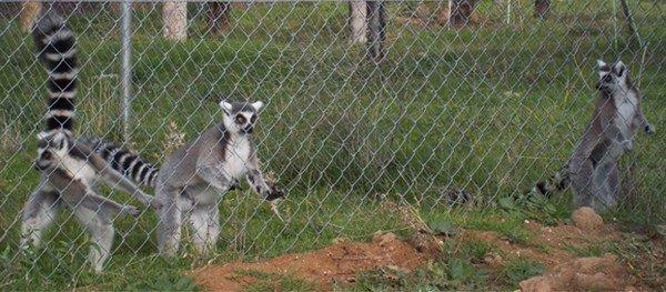 Los Lémures en la Visitas para Colegios al Centro de Rescate de Primates Rainfer